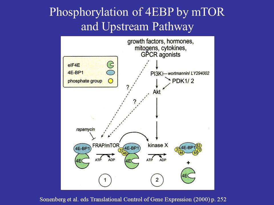 Phosphorylation of 4EBP by mTOR