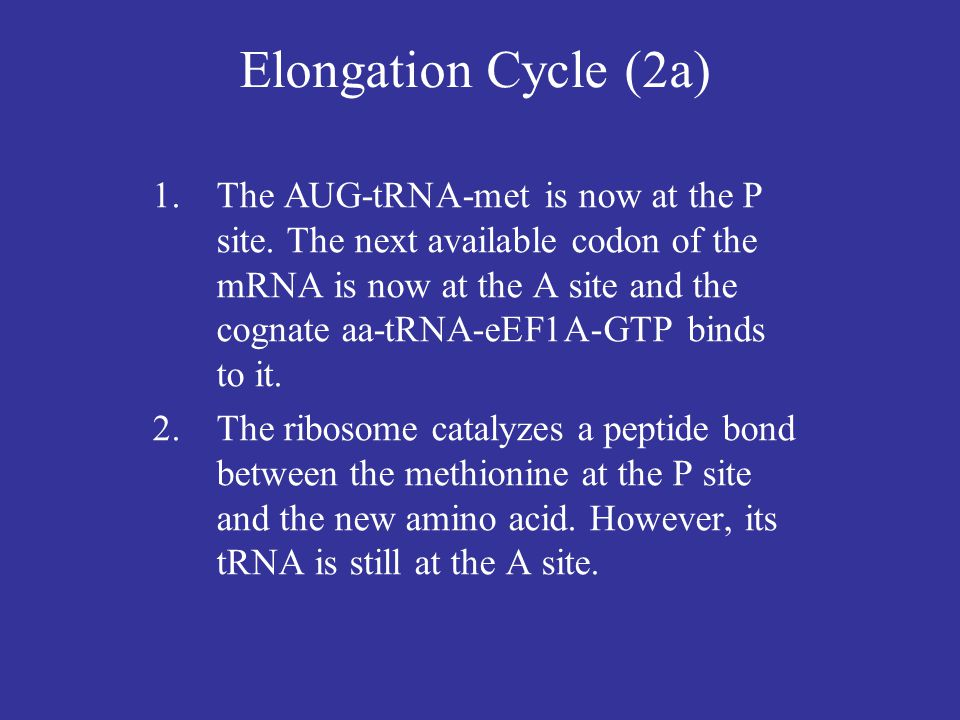 Elongation Cycle (2a)