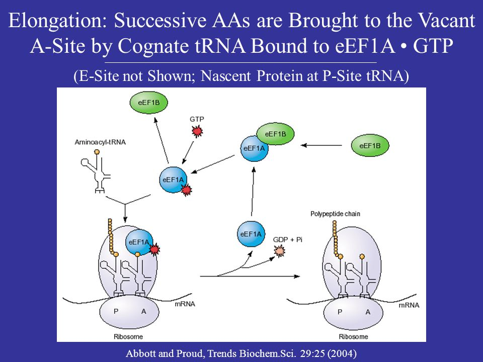 Elongation: Successive AAs are Brought to the Vacant A-Site by Cognate tRNA Bound to eEF1A • GTP