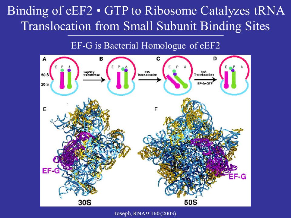 EF-G is Bacterial Homologue of eEF2