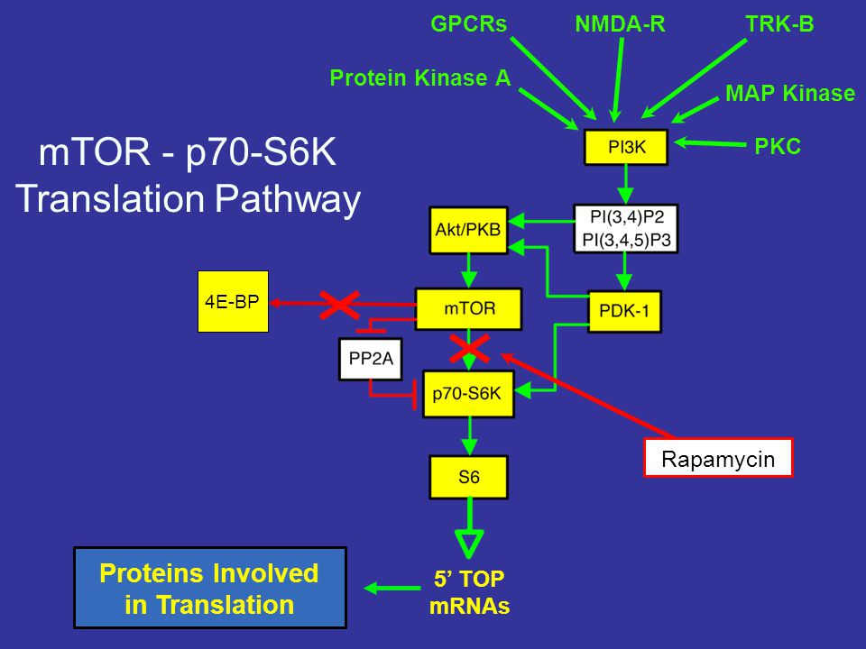 mTOR - p70-S6K Translation Pathway Proteins Involved in Translation