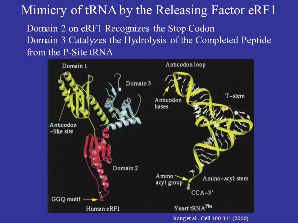 Mimicry of tRNA by the Releasing Factor eRF1