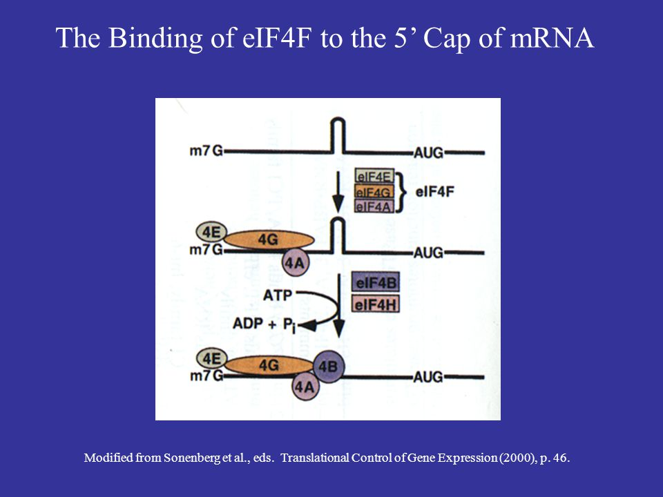 The Binding of eIF4F to the 5' Cap of mRNA