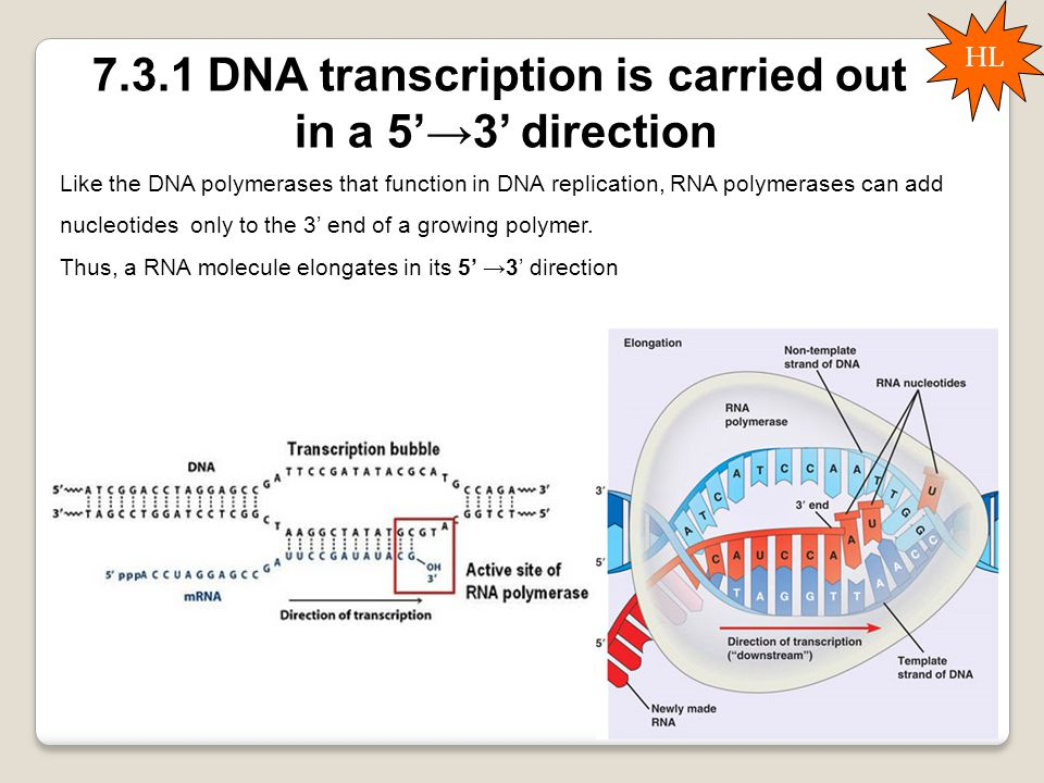 7.3.1 DNA transcription is carried out