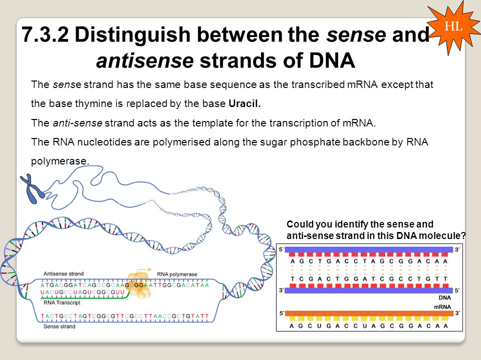 7.3.2 Distinguish between the sense and antisense strands of DNA