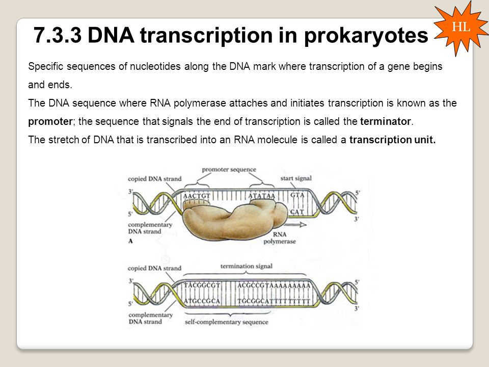 7.3.3 DNA transcription in prokaryotes