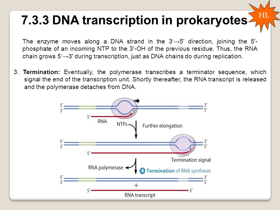 7.3.3 DNA transcription in prokaryotes