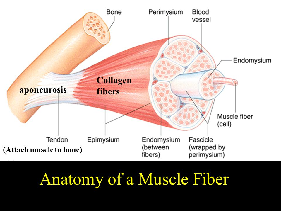 Anatomy of a Muscle Fiber