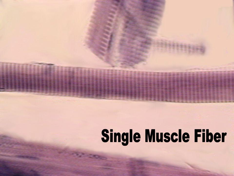 Single Muscle Fiber