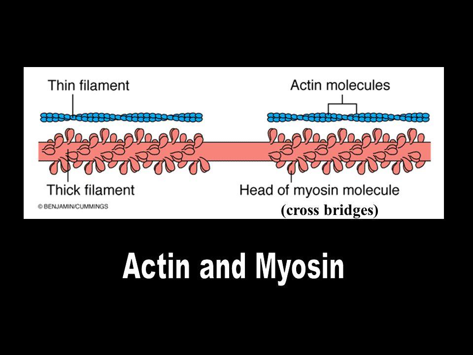 (cross bridges) Actin and Myosin