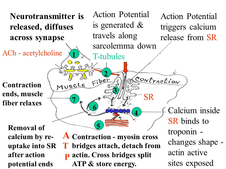 Action Potential is generated & travels along sarcolemma down T-tubules