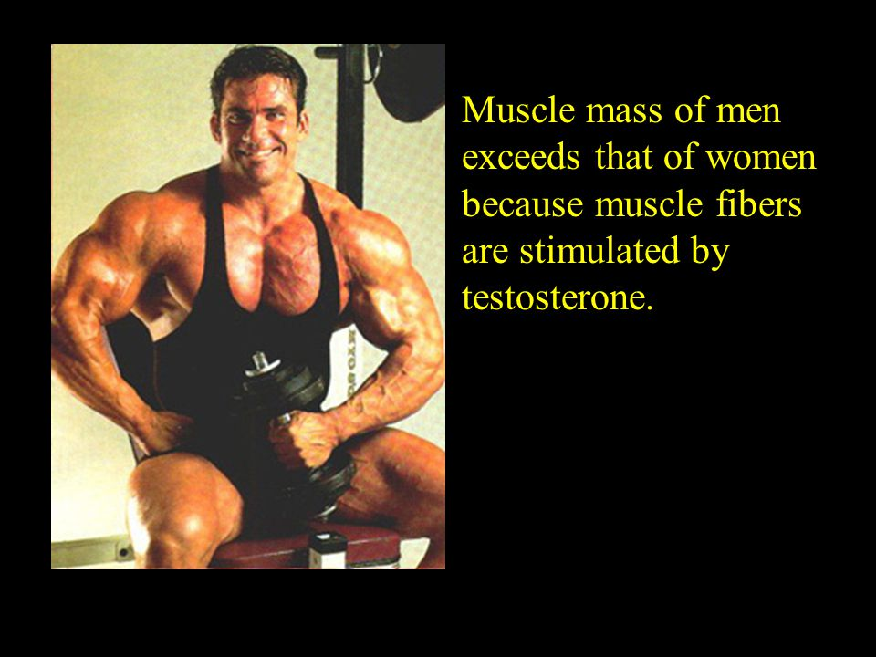 Muscle mass of men exceeds that of women because muscle fibers are stimulated by testosterone.