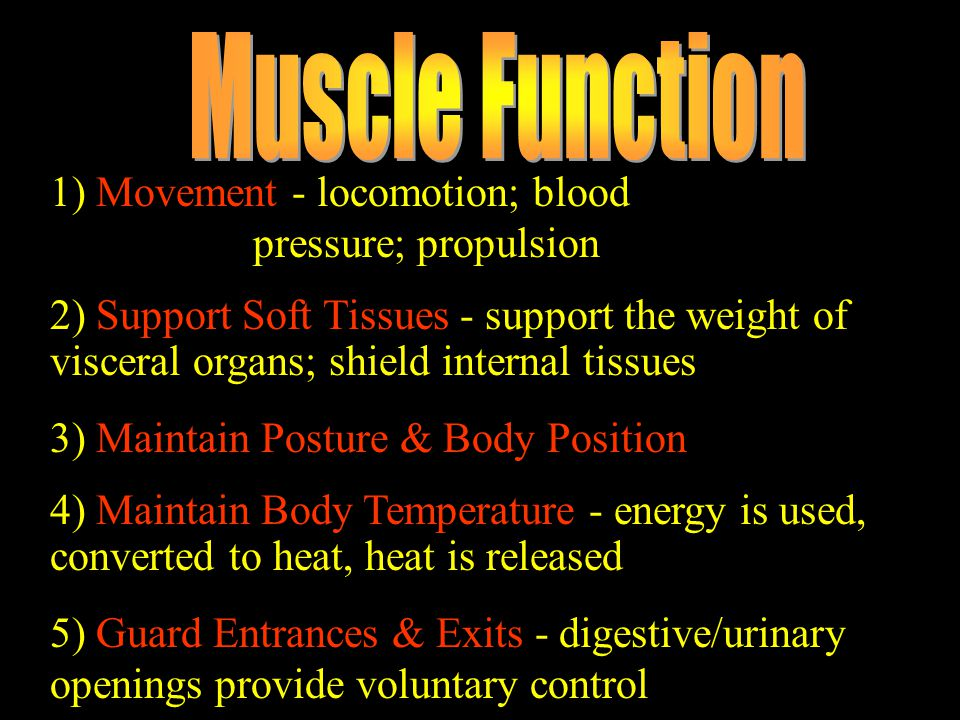 Muscle Function 1) Movement - locomotion; blood pressure; propulsion