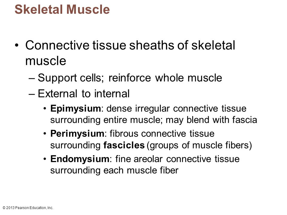 Connective tissue sheaths of skeletal muscle