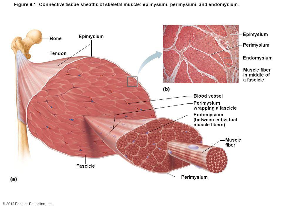 Figure 9.1 Connective tissue sheaths of skeletal muscle: epimysium, perimysium, and endomysium.