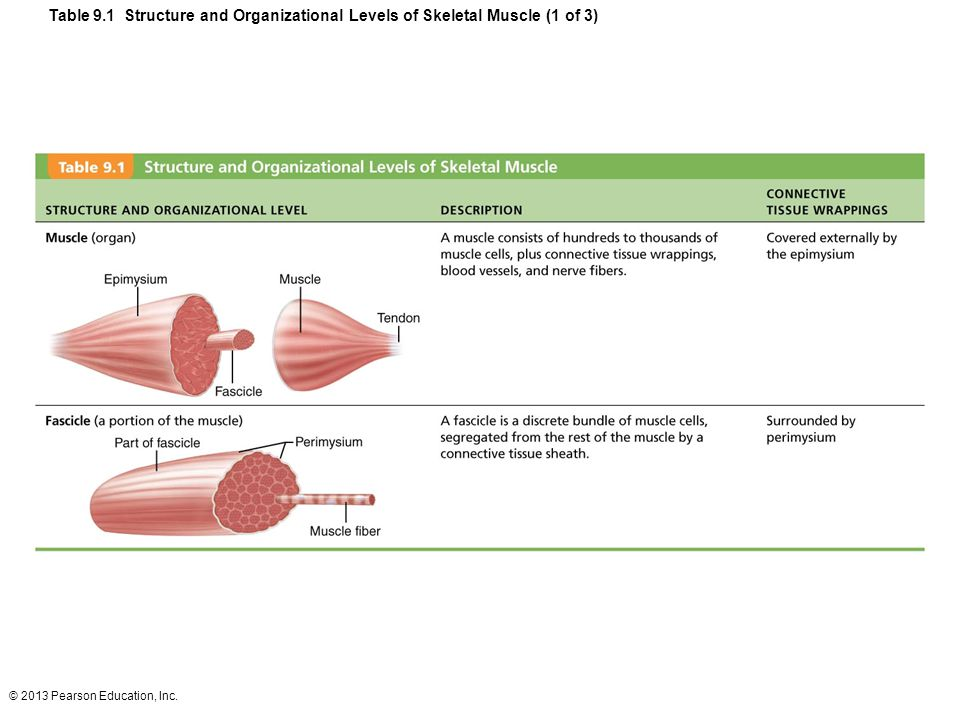 Table 9.1 Structure and Organizational Levels of Skeletal Muscle (1 of 3)