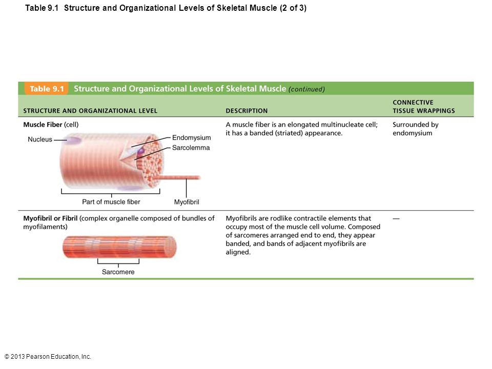 Table 9.1 Structure and Organizational Levels of Skeletal Muscle (2 of 3)