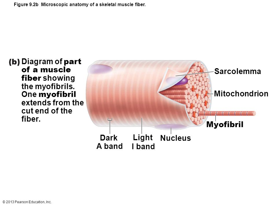 Sarcolemma Mitochondrion Dark A band Light I band Nucleus