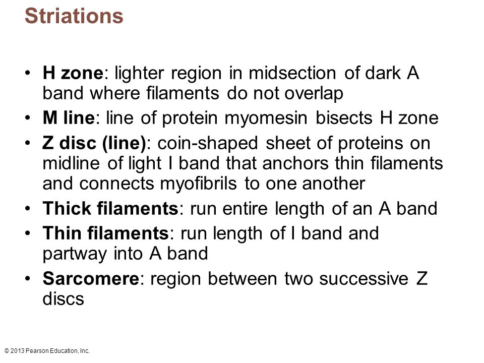 Striations H zone: lighter region in midsection of dark A band where filaments do not overlap. M line: line of protein myomesin bisects H zone.