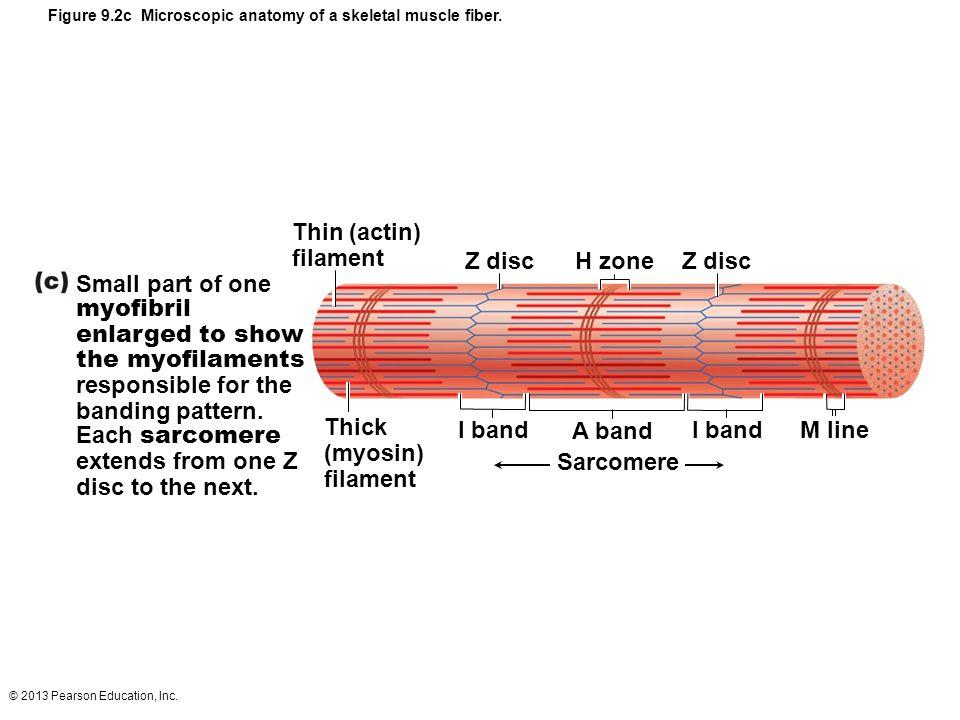 Z disc H zone Z disc I band A band I band M line Sarcomere