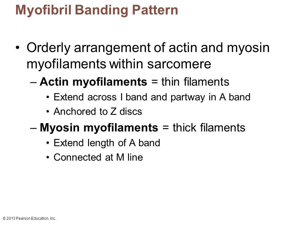 Myofibril Banding Pattern