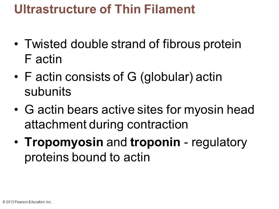 Ultrastructure of Thin Filament