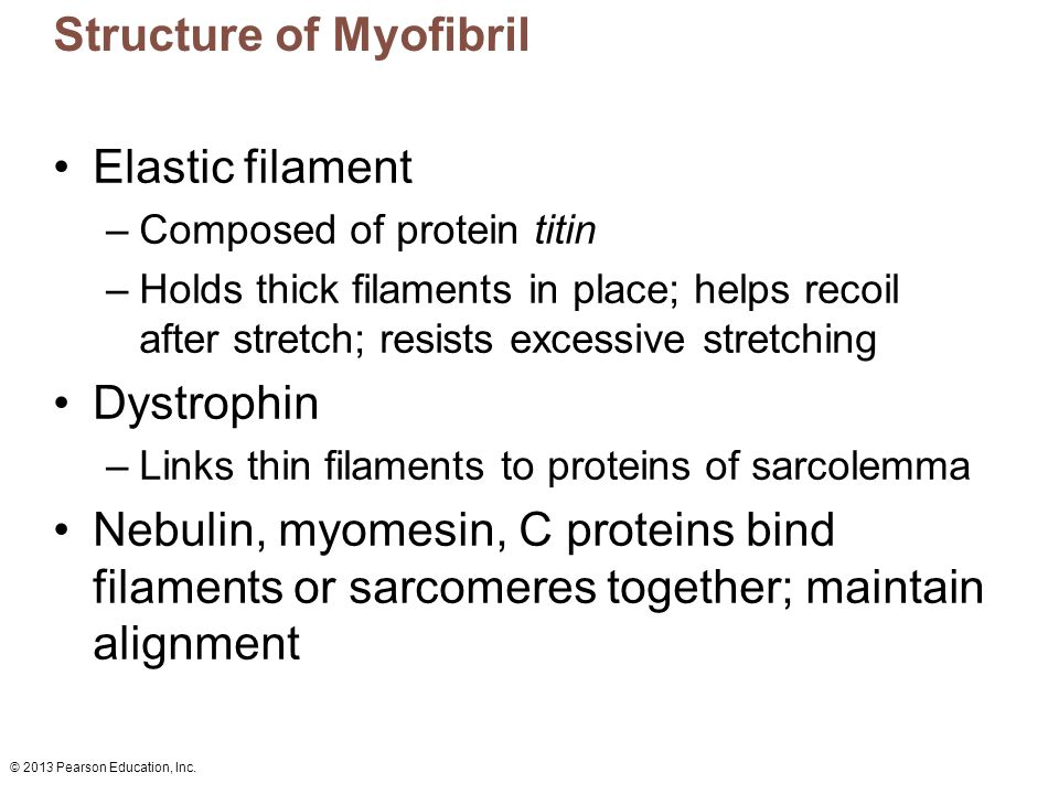 Structure of Myofibril