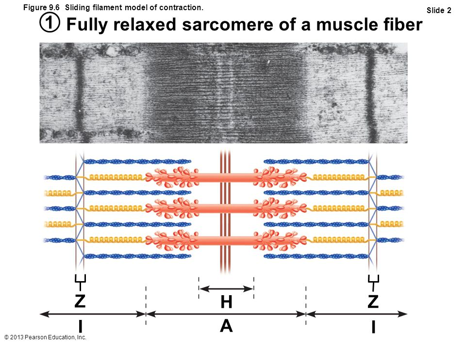 Fully relaxed sarcomere of a muscle fiber