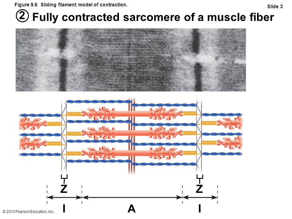 Fully contracted sarcomere of a muscle fiber