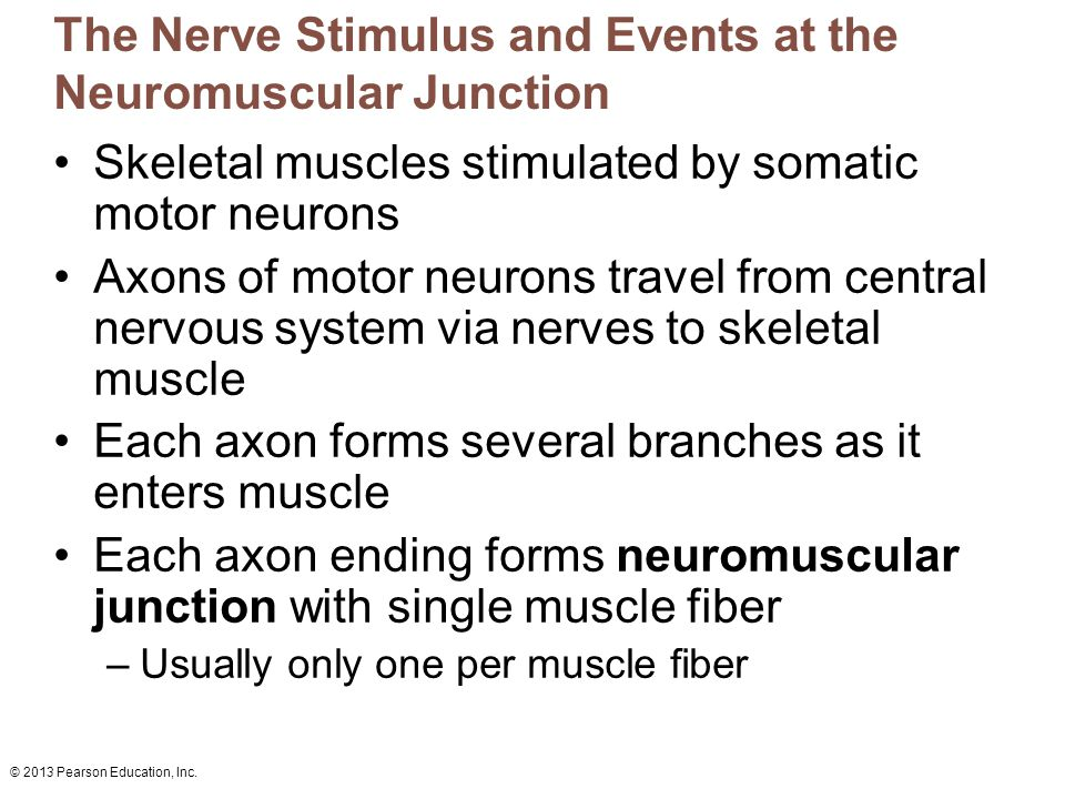 The Nerve Stimulus and Events at the Neuromuscular Junction
