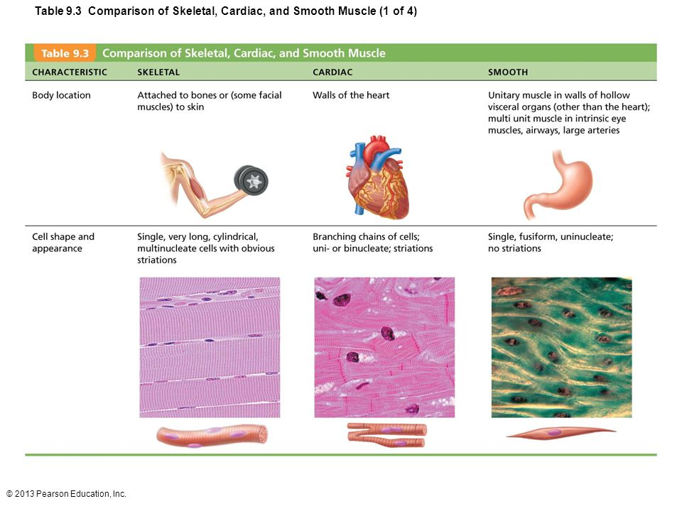 Table 9.3 Comparison of Skeletal, Cardiac, and Smooth Muscle (1 of 4)