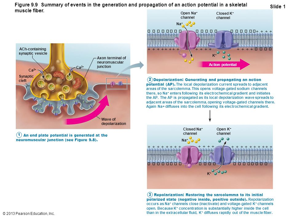 Figure 9.9 Summary of events in the generation and propagation of an action potential in a skeletal muscle fiber.
