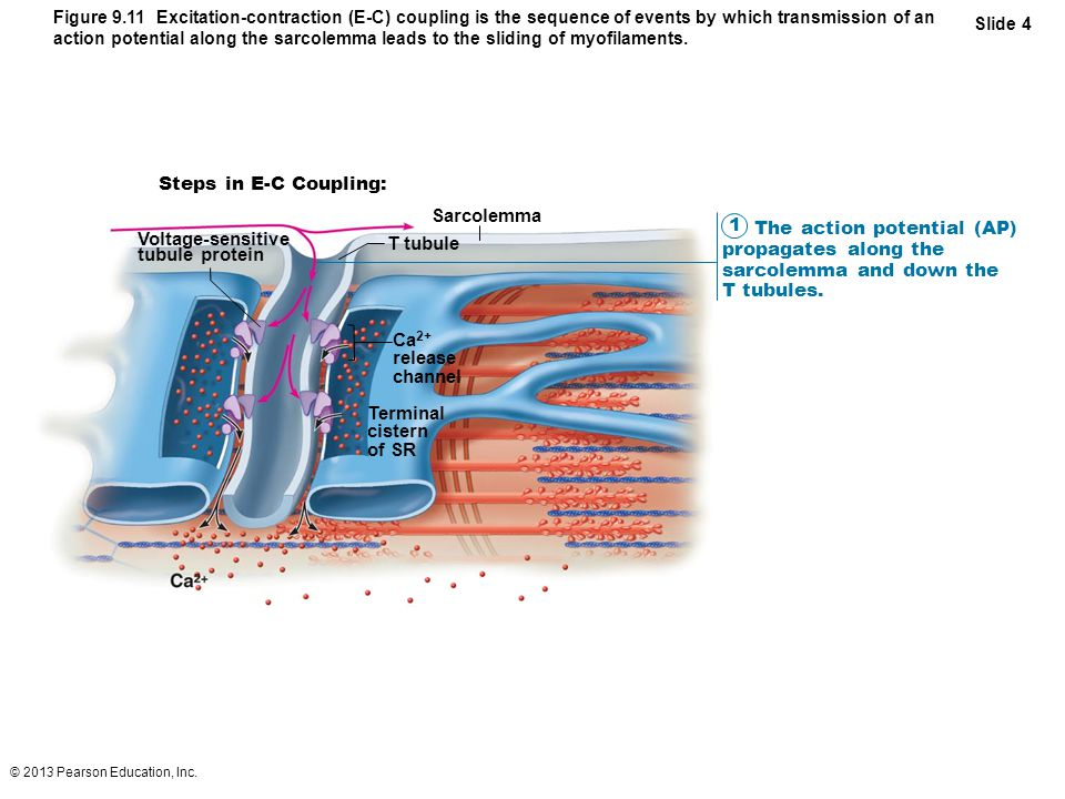 The action potential (AP) propagates along the sarcolemma and down the