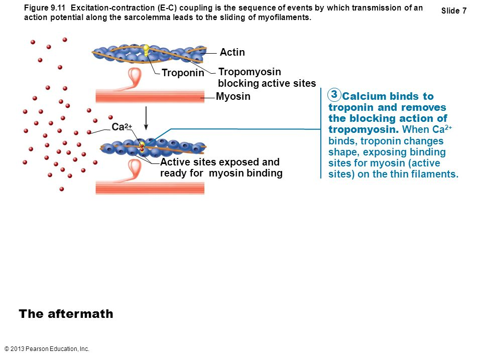 The aftermath Actin Troponin Tropomyosin blocking active sites Myosin