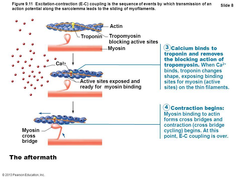 The aftermath Actin Troponin Tropomyosin blocking active sites Myosin