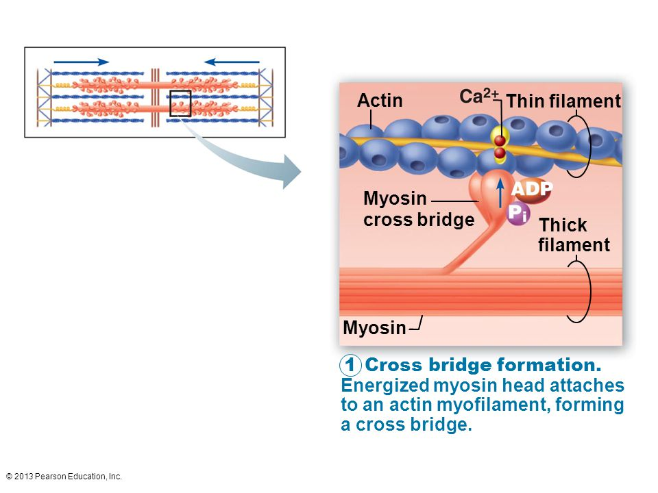 Actin Thin filament Myosin