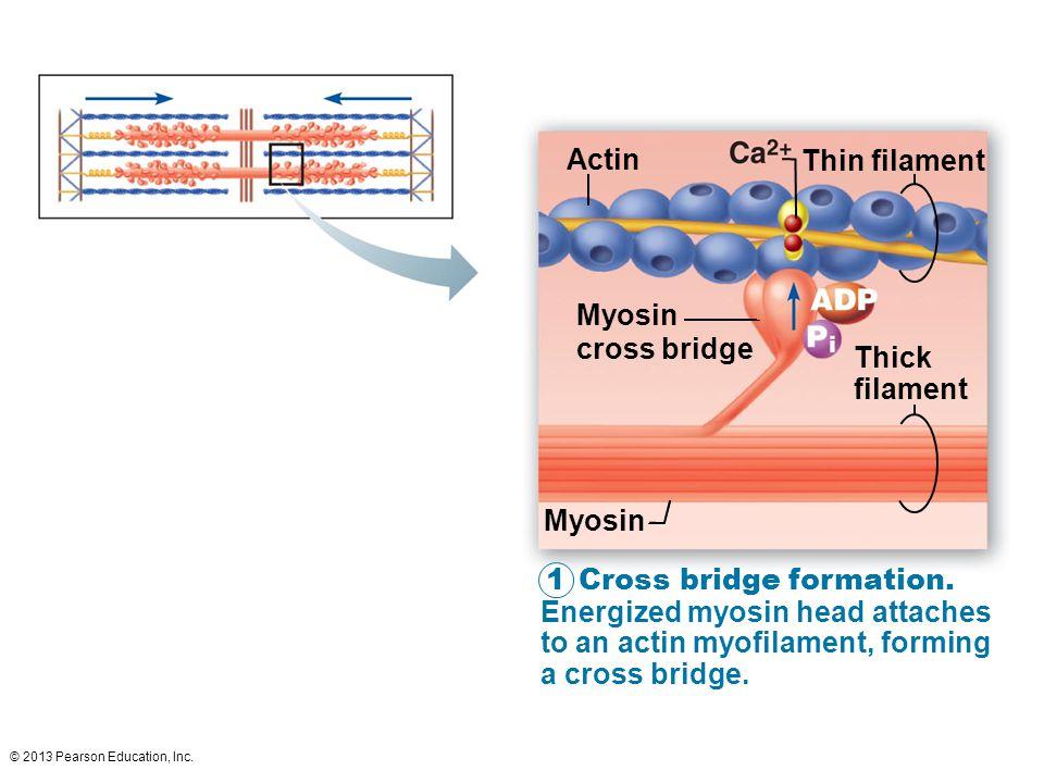 Actin Thin filament Myosin