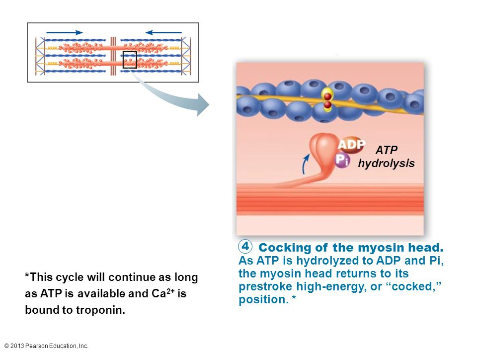 ATP hydrolysis.