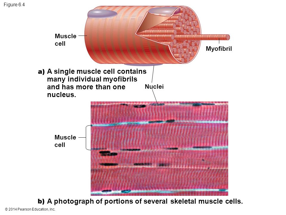 A single muscle cell contains many individual myofibrils