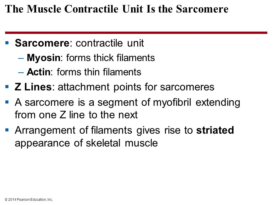 The Muscle Contractile Unit Is the Sarcomere