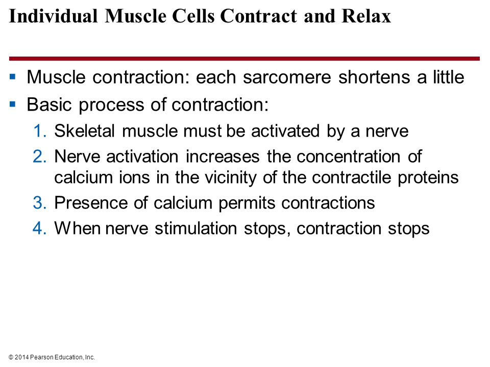 Individual Muscle Cells Contract and Relax