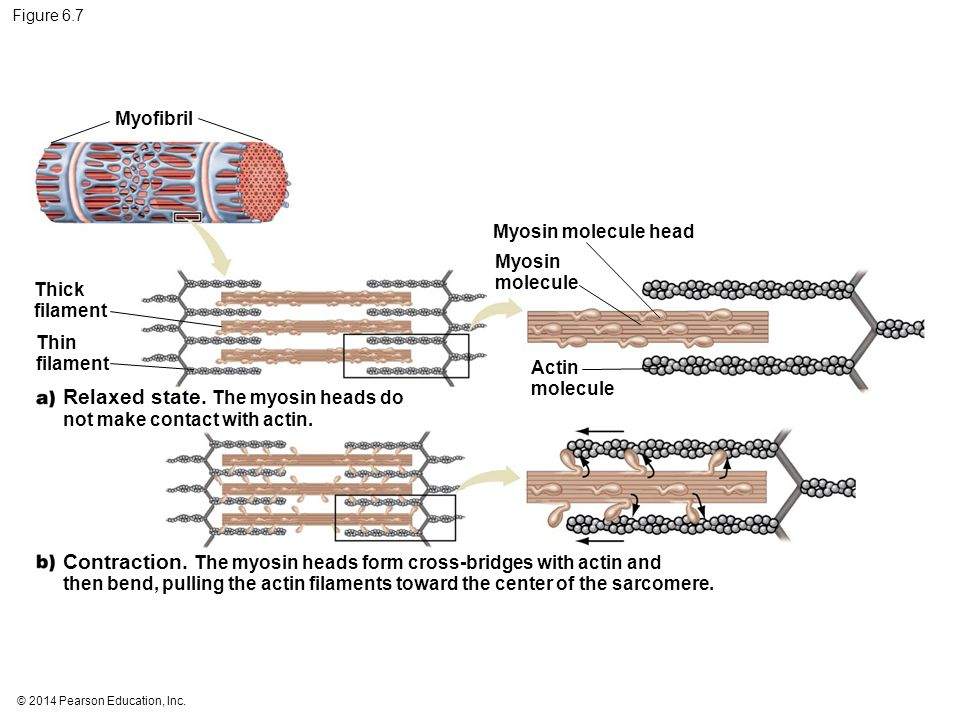 Relaxed state. The myosin heads do