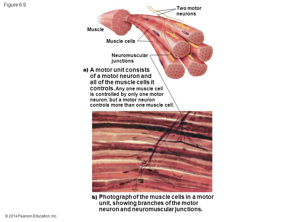 all of the muscle cells it controls. Any one muscle cell