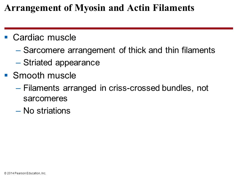 Arrangement of Myosin and Actin Filaments