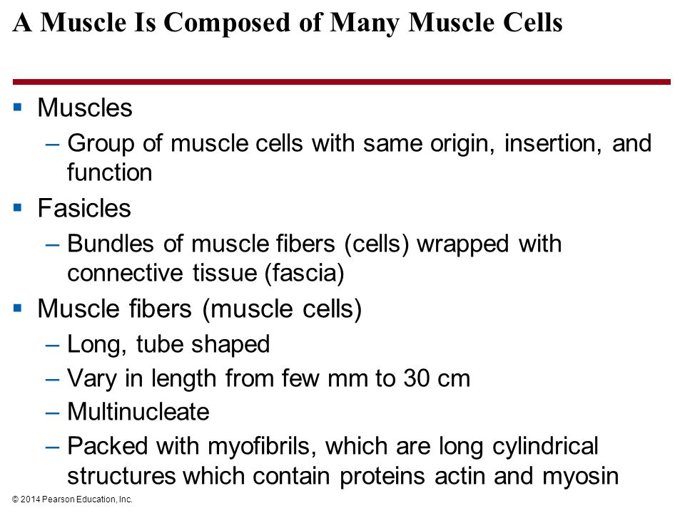 A Muscle Is Composed of Many Muscle Cells