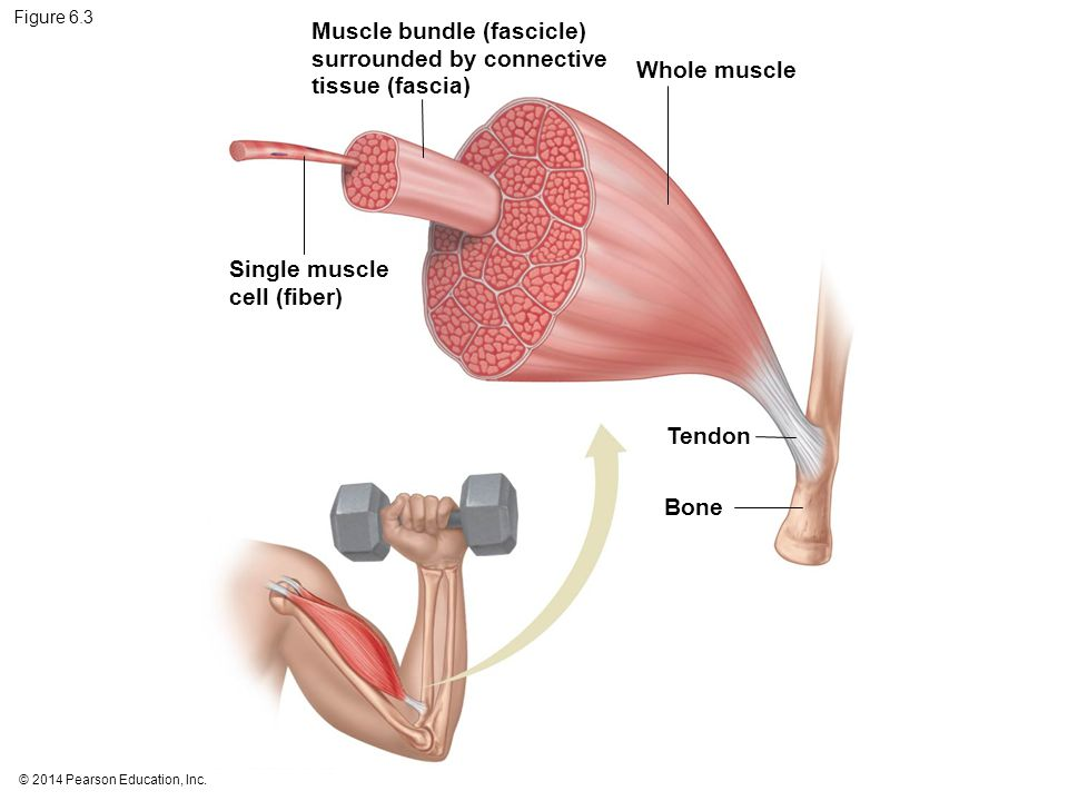 Muscle bundle (fascicle) surrounded by connective tissue (fascia)