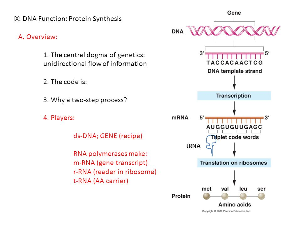 IX: DNA Function: Protein Synthesis A. Overview: