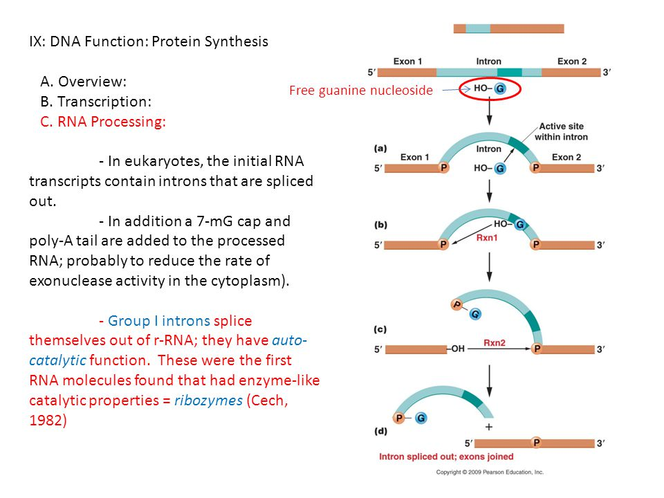 IX: DNA Function: Protein Synthesis A. Overview: B. Transcription: