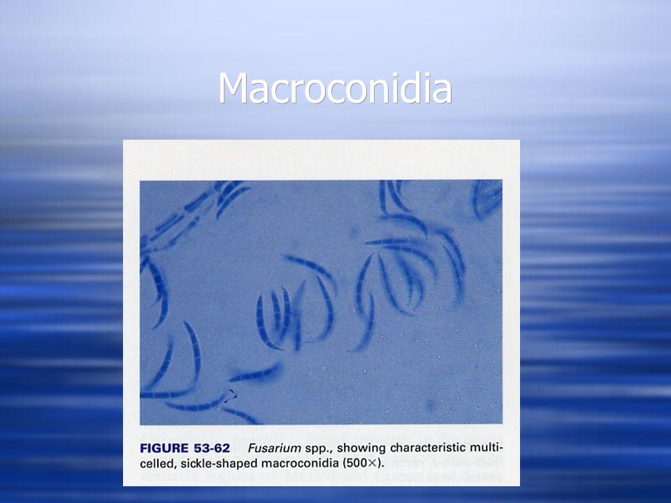 Macroconidia