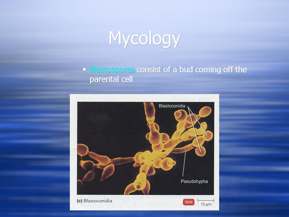 Mycology Blastospores consist of a bud coming off the parental cell